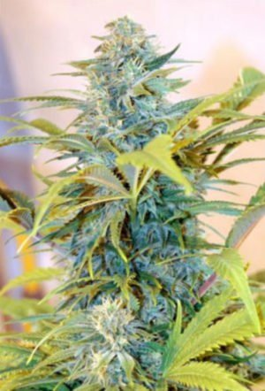 Blue Skunk Seed Feminized