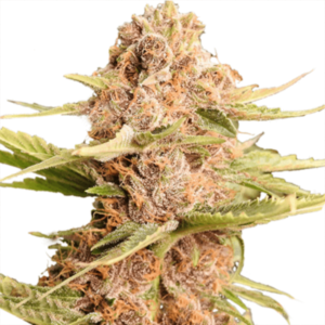 Girl Scout Cookies Extreme seed flower
