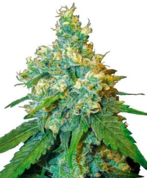 Jack Herer Cannabis Seeds flower
