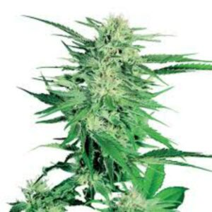 King of the North Cannabis Seeds
