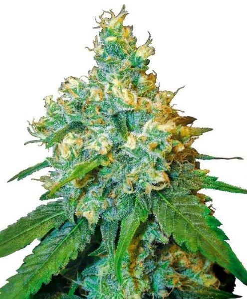 cannabis-Seeds
